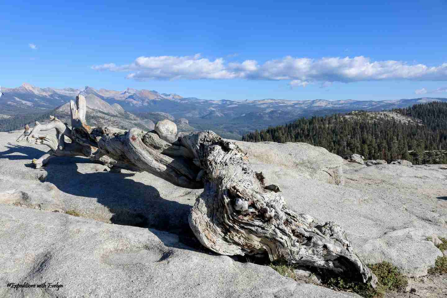 The is the best hike in the world for the least effort.  A fallen Jeffrey Pine lays on granite with views of Yosemite mountains and forest behind.